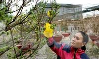Cận cảnh những cây mai vàng ở Sài Gòn cho đại gia thuê Tết giá trăm triệu