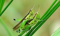 Châu chấu giao phối (con cái to hơn con đực). Ảnh: Bgroup.
