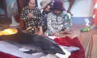Cá ông lạc vào đầm Thị Nại mắc lưới người dân.