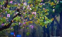 Hà Nội: Rủ bạn thân, gà bông chụp ngay bộ ảnh trên con đường hoa ban tím đẹp mơ màng
