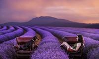Chụp ảnh với vườn lavender