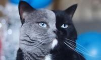 Chú mèo hai mặt Narnia