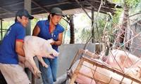 Giá lợn hơi ở một số địa phương phía Bắc đã hơn 60.000 đồng/kg.