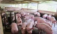 Bộ NN&PTNT đề nghị các DN chăn nuôi lợn giảm giá lợn lợn xuống bình quân còn 70.000 đồng/kg từ 1/4/2020.