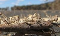 FAO đánh giá châu châu sa mạc đang gây tình trạng tồi tệ nhất với cây trồng ở vùng Đông Phi trong 25 năm qua (Nguồn: BBC)