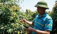 Bắc Giang đã lên các kịch bản tiêu thụ vải tươi trong năm 2020