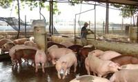 Dịch tả lợn châu Phi có nguy cơ tái phát, lây lan trên diện rộng ở nhiều địa phương.
