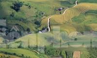 Một phần cánh đồng Cao Phạ nhìn từ đỉnh đèo Khau Phạ mùa lúa chín. Ảnh: Trường Phong