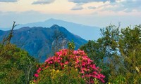 Hoa cổ thụ đỗ quyên khoe sắc trên đỉnh Hoàng Liên Sơn.