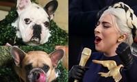 Lady Gaga treo thưởng hơn 11 tỷ đồng tìm chó cưng bị cướp trong đêm