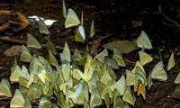 Ninh Bình: Lạc lối giữa rừng bướm đẹp như tiên cảnh ở Cúc Phương