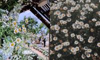 Đến Đà Lạt vào tháng 6: Lạc lối trong màu trắng tinh khôi của vườn cúc họa mi bên bờ hồ