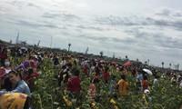 Khung cảnh thực tế của vườn hướng dương ở Sài Gòn: Giới trẻ chen chúc check-in với... hoa héo