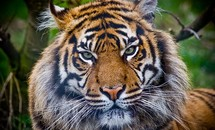 Indonesia: 5 người phải sống trên cây do hổ rình mò bên dưới