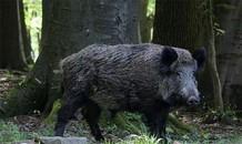 Thổ dân châu Phi dùng khỉ để săn lợn rừng
