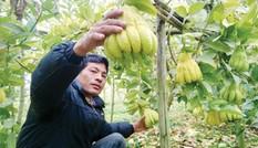 Thu nhập nửa tỷ mỗi năm nhờ trồng phật thủ