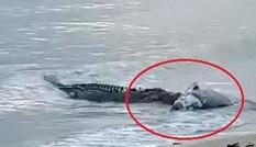 Cá sấu tấn công cá mú trên bờ biển khiến người dân kinh hãi