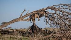 Báo hoa mai 'hôn' trâu rừng trong khu bảo tồn Nam Phi