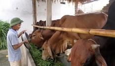Hóa bò gầy thành béo, kiếm mỗi tháng trăm triệu