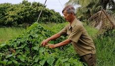 Lão nông làm vườn đa canh thu 700 triệu mỗi năm