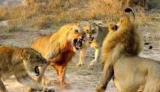 Sư tử bỏ mạng trong cuộc chiến tranh giành lãnh thổ