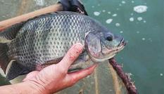 Nuôi cá thu hơn 100 triệu mỗi năm
