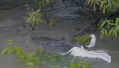 Cá sấu caiman chồm lên ngoạm chim diệc non