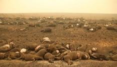 Cháy rừng Australia: Xót xa nửa tỷ động vật bị xóa sổ, kangaroo chết la liệt