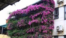 Nhà năm tầng phủ kín hoa giấy