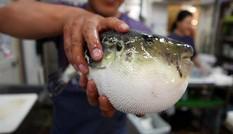 Vì sao cá nóc vừa độc vừa đắt lại hút khách?