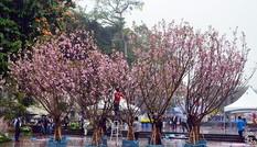Tận thấy 10.000 cành anh đào Nhật Bản bung nở giữa Thủ đô