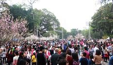 Hàng nghìn người chen chân ngắm hoa anh đào giữa Thủ đô