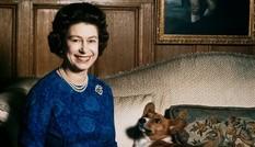 Bầy Corgi của Nữ hoàng Elizabeth thì nổi tiếng quá rồi, nhưng có những điều bạn chưa biết