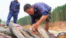 Hồ Kẻ Gỗ xả lũ, dân kéo nhau đi săn cá 'khủng'
