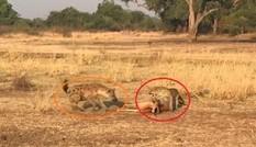 Báo Leopard săn mồi dâng tận 'răng' cho linh cẩu
