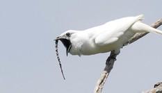 1001 thắc mắc: Loài chim nào hót gọi bạn tình ồn hơn máy bay cất cánh?