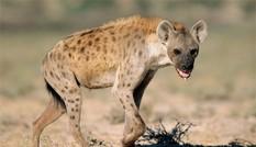 1001 thắc mắc: Vì sao linh cẩu được coi là loài động vật máu lạnh và tàn nhẫn?