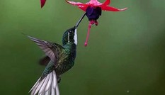 1001 thắc mắc: Loài chim nào có thể bay lùi?