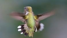 1001 thắc mắc: Loài chim nào có thể bay lùi, được mệnh danh là 'phi cơ thần tốc'?