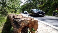 Cưa hạ nhiều cây thông cổ thụ có nguy cơ gãy đổ trên đèo Prenn