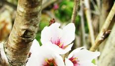 Trồng lại hoa anh đào ở Đà Lạt sau nhiều lần thất bại