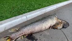 Cá hỏa tiễn chết trong công viên Thống Nhất là do người dân nuôi?