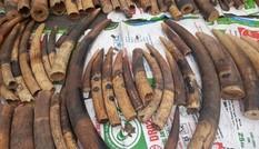 Bắt container chứa hơn 2 tấn ngà voi, vảy tê tê