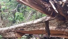 Lợi dụng mưa bão, lâm tặc 'xẻ thịt' 3 cây giáng hương cổ thụ ở Gia Lai