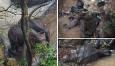 Đàn voi chết thảm vì cứu voi non rơi xuống thác Địa Ngục gây xúc động