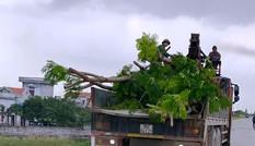 Nhổ toàn bộ hàng cây lâu năm xâm phạm đê sông Đáy