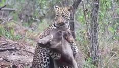 Màn chiến đấu sinh tử giữa lợn rừng với báo hoa mai