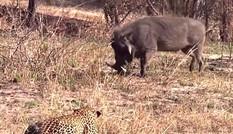 VIDEO: Tình huống săn mồi cực kỳ ngớ ngẩn của báo hoa mai