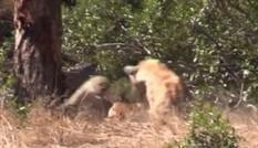 VIDEO: Linh cẩu vô tình giúp linh dương Impala thoát nanh vuốt báo