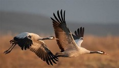Top 10 loài chim bay cao nhất thế giới tự nhiên